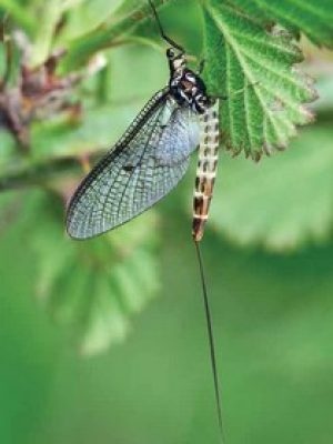 "Ephemera danica: a species of mayfly in the genus Ephemera. The common name ""green drake"" is used in some parts of the British Isles for this species."
